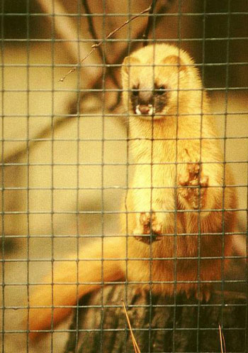 Siberian Weasel in Captivity