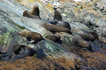 South American Fur Seals