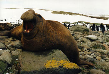 Male Southern Elephant Seal