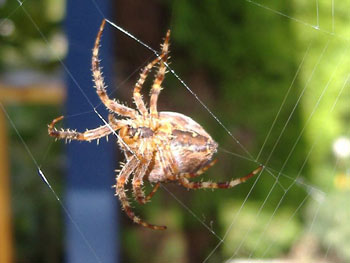 The underside of a garden spider spinning it's web.