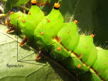 Spiracles identified on an Indian Moon Moth