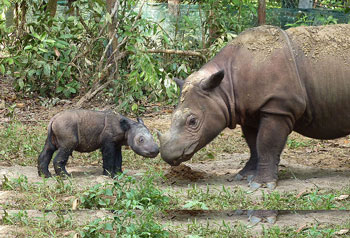 A Sumatran Rhinoceros with her 4 day old youngster