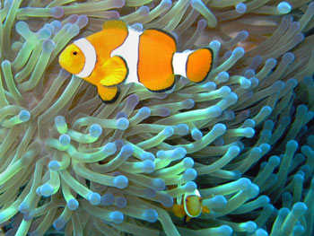 Clownfish and Sea Anemones form Symbiotic Relationships