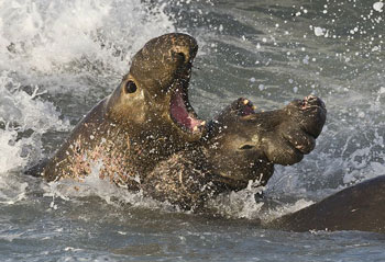 Male Northern Elephant Seals fighting for territory and mates
