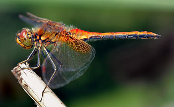 The bright colours of this Yellow-winged Darter Dragonfly serve as a warning to predators of its noxious taste.