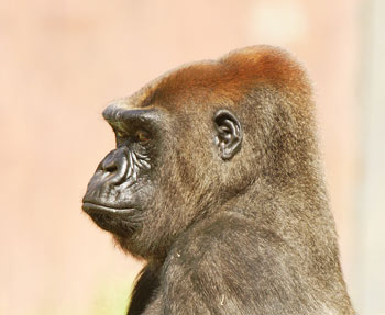 Western Lowland Gorilla at Melbourne Zoo
