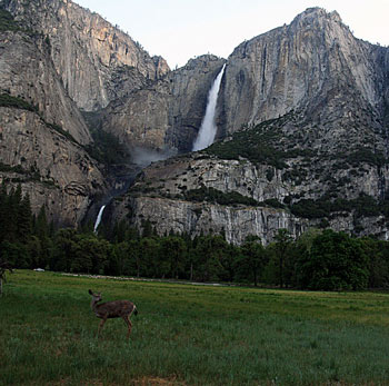 Yosemite Falls with a Californian Mule Deer in the foreground